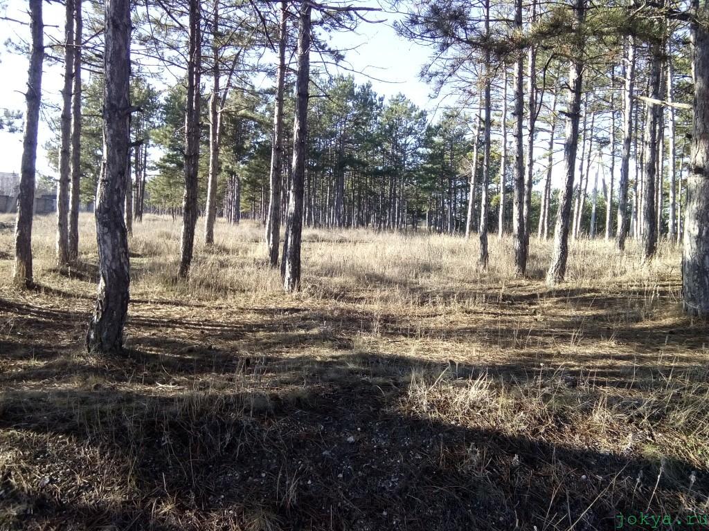 Сосновый бор в Белогорске фото сюжет от jokya.ru